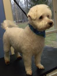 yorkie teddy bear face haircut one fine canine pictures