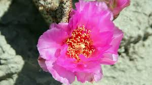 desert flower anza borrego it u0027s go time flower people nbc 7 san diego