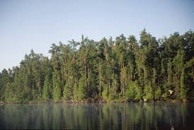 Minnesota forest images Expert says climate change impacting northern minn forests jpg