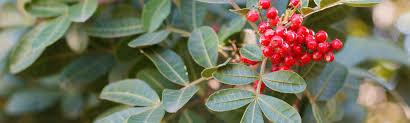 native brazilian plants invasive species management jekyll island u2013 georgia u0027s vacation