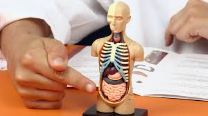 Pictures Of Human Anatomy Organs Human Body Anatomy Model Learn Your Organs Fun Science