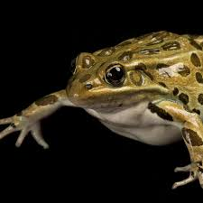 northern leopard frog national geographic