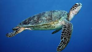 imagenes tortugas verdes llegada de turistas podría afectar población de tortugas verdes