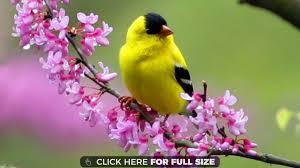 yellow bird spring wallpaper