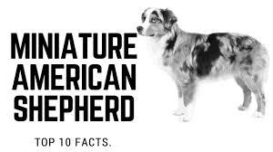 australian shepherd vs miniature american shepherd miniature american shepherd top 10 interesting facts youtube