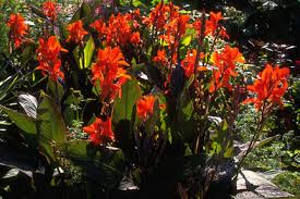 cana lilly canna rhs gardening