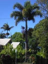 plants that are native to australia how to identify other people u0027s australian palms palms online