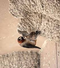 Barn Swallow Nest Pictures 25 Best Bird Nests Images On Pinterest Bird Nests Swallows And