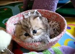 beautiful kittens a beautiful teacup persian kitten watch
