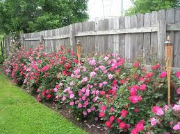 How Much To Landscape A Backyard by When To Trim Back Knockout Roses And How Much Roses Forum