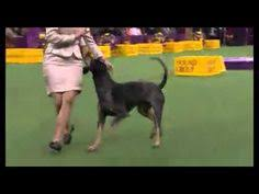 westminster bluetick coonhound 2016 hound saluki pet dog show 2016 wkc westminster kennel club dog