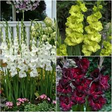 Gladiolus Flowers Gladiolus Flower Bulbs Butterfly Mix