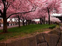 the best cities in the us to see cherry blossoms wheretraveler