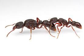 identify queen ants