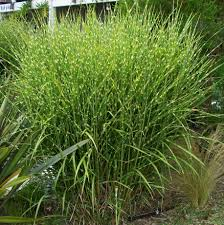 the best ornamental grasses to grow in your garden grasses