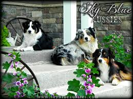 buy a australian shepherd australian shepherd puppies for sale nebraska australian shepherds
