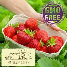 quinault strawberry plants organic 20 bare root plants everbearing