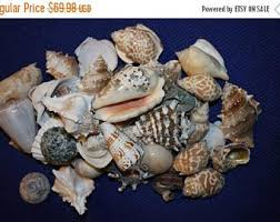 assorted seashells assorted seashells etsy