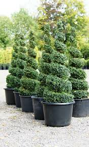 topiary spirals from crown topiary hertford a topiary nursery