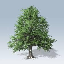 european beech v7 speedtree