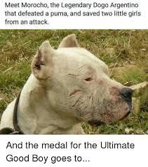 Puma Meme - meet morocho the legendary dogo argentino that defeated a puma and