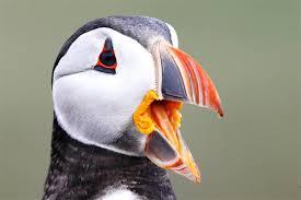 atlantic puffin lee u0027s birdwatching adventures plus