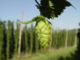 Low Trellis Hops Cornell Cooperative Extension Frequently Asked Questions