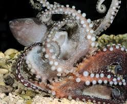tropical octopus definitely mates beak to beak science smithsonian