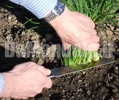 erba cipollina in vaso coltivazione dell erba cipollina
