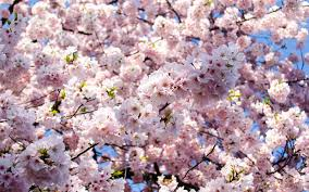 National Cherry Blossom Festival by Here U0027s When To Catch Cherry Blossoms In All Their Glory In D C