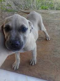 american pitbull terrier gray is my pit bull full blooded thriftyfun