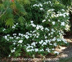 Fragrant Plants Florida - pinwheel jasmine