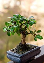 bonsai plants some types may captivate your resolve40