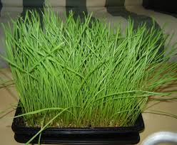 grow your own wheatgrass 7 steps with pictures
