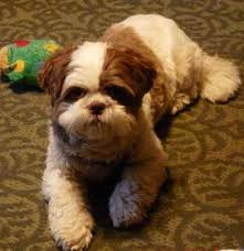 lion dogs shih tzu history lion dog holy dogs