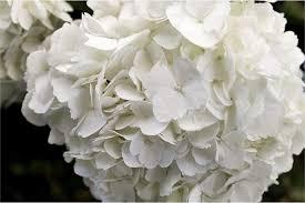 white hydrangeas hydrangeas montecarlo gardens