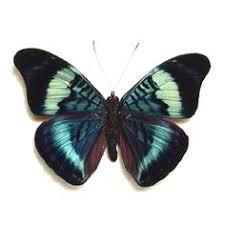 framed european inachus io peacock butterfly best seller 14