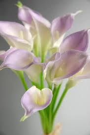 cala lillies touch mini lilac calla bouquet 12 flowers