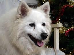 american eskimo dog breeders new england tear stains american eskimo dogs tear stained eyes eskie
