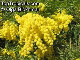 Tree With Bright Yellow Flowers - toptropicals com rare plants for home and garden