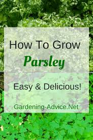 growing parsley how to grow this versatile herb indoors or outdoors