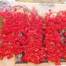 online buy wholesale climbing ivy plant from china climbing ivy