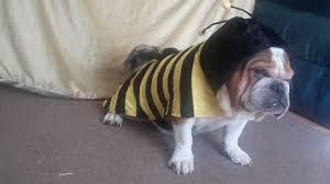 jake english bulldog sporting bumble bee halloween costume