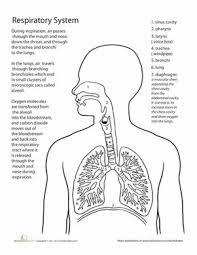 best 25 respiratory system ideas on pinterest respiratory