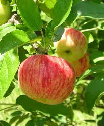 old southern apples heirloom varieties that were bred in the