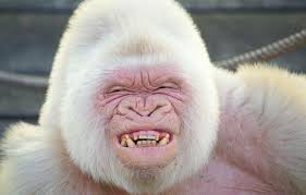 Albino Meme - til albino gorilla this is amazing and simultaneously i am