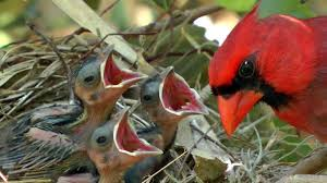 hd northern cardinals feeding baby birds fyv 1080 hd youtube