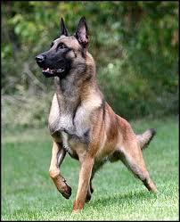 belgian shepherd standard breed of the week belgian malinois 11 30 2015 barking bad