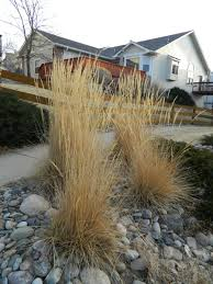 time to cut back the karl foerster colorado yard care