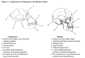 primate and human evolution a skull comparison introduction